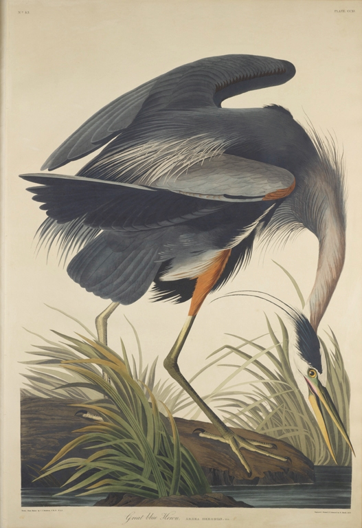 Great Blue Heron, Plate 211 in Birds of America