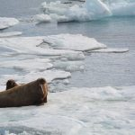 Arctic trip Day 8 - Walruses