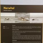 Arctic trip Day 2 - Narwhal poster