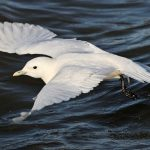Arctic trip Day 2 - Ivory gull