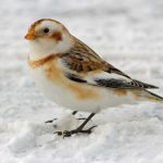 Arctic trip Day 9 - Snow bunting