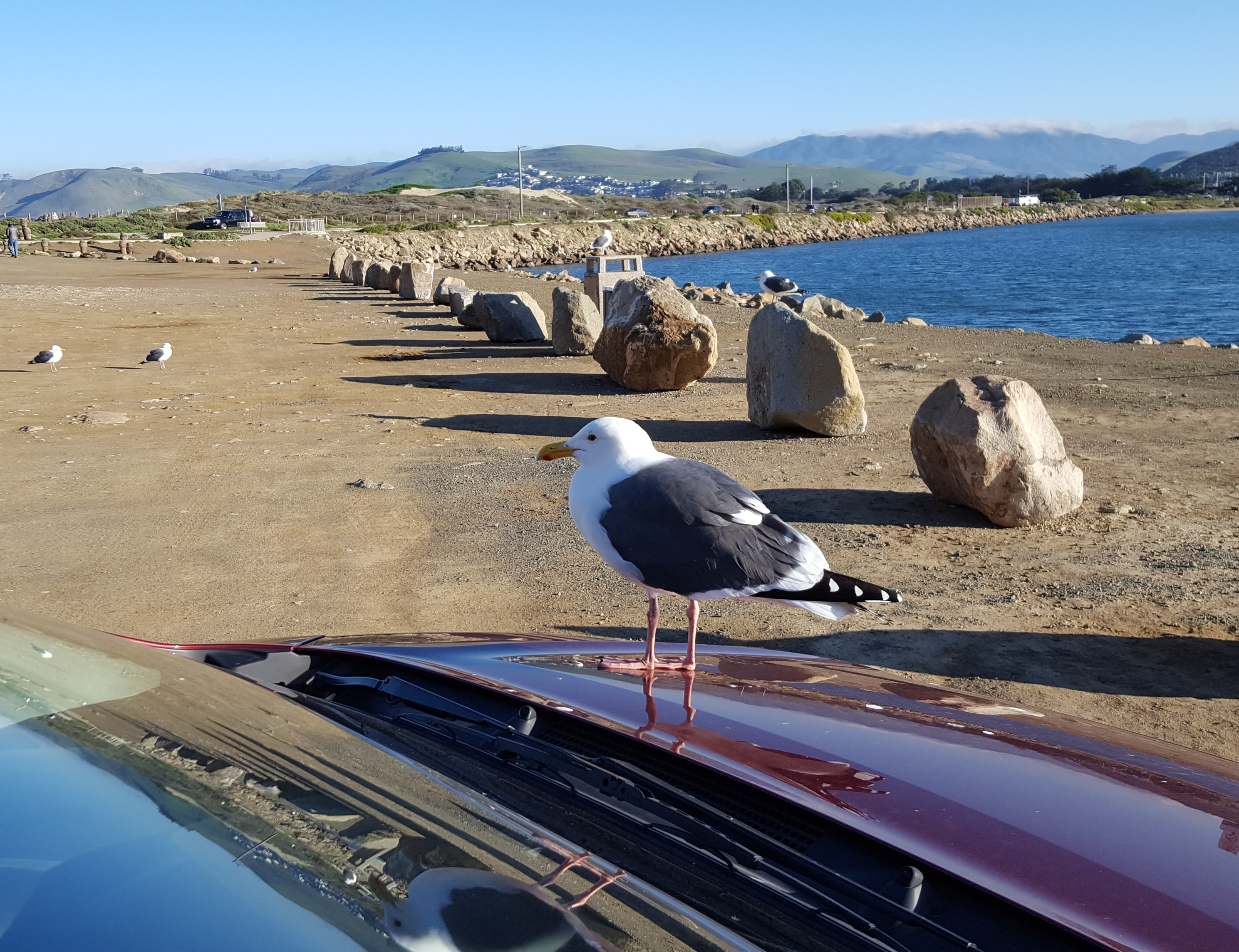 Gull sitting on car hood, Morro Bay, CA