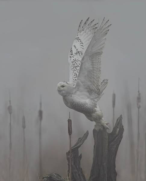 Snowy Owl taking off in the mist